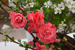 Double Take Pink Storm Flowering Quince (Chaenomeles speciosa 'Double Take Pink Storm') at Tagawa Gardens