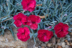 Frosty Fire Pinks (Dianthus 'Frosty Fire') at Tagawa Gardens