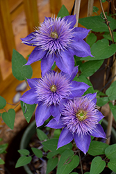 Multi Blue Clematis (Clematis 'Multi Blue') at Tagawa Gardens