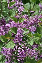 Bloomerang® Dark Purple Lilac (Syringa 'SMSJBP7') at Tagawa Gardens