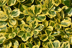 Gold Splash Wintercreeper (Euonymus fortunei 'Roemertwo') at Tagawa Gardens