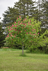 Fort McNair Red Horse Chestnut (Aesculus x carnea 'Fort McNair') at Tagawa Gardens