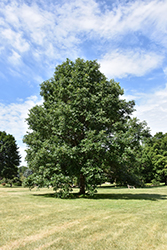 Swamp White Oak (Quercus bicolor) at Tagawa Gardens