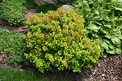Limoncello™ Barberry (Berberis thunbergii 'BailErin') at Tagawa Gardens