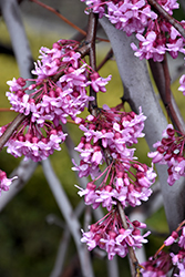 Lavender Twist Redbud (Cercis canadensis 'Covey') at Tagawa Gardens