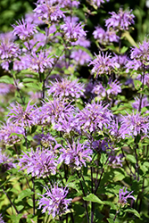 Blue Stocking Beebalm (Monarda didyma 'Blue Stocking') at Tagawa Gardens