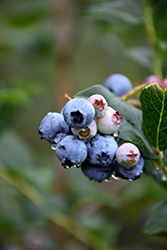 Chippewa Blueberry (Vaccinium 'Chippewa') at Tagawa Gardens