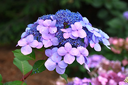 Twist And Shout Hydrangea (Hydrangea macrophylla 'PIIHM-I') at Tagawa Gardens
