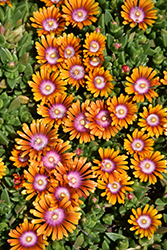 Fire Spinner Ice Plant (Delosperma 'Fire Spinner') at Tagawa Gardens