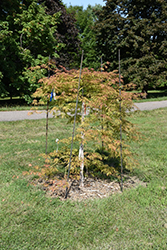 Ice Dragon™ Maple (Acer 'IsliD') at Tagawa Gardens