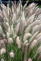 Fountain Grass (Pennisetum setaceum) at Tagawa Gardens