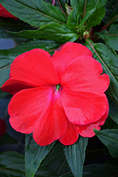 Sonic® Red New Guinea Impatiens (Impatiens 'Sonic Red') at Tagawa Gardens