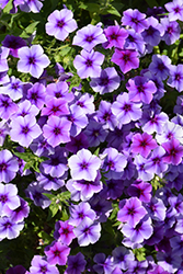 Intensia Blueberry Annual Phlox (Phlox 'Intensia Blueberry') at Tagawa Gardens
